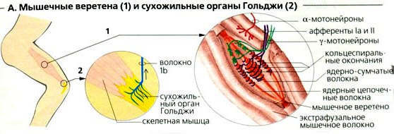 Мышечные веретёна и сухожильные органы Гольджи