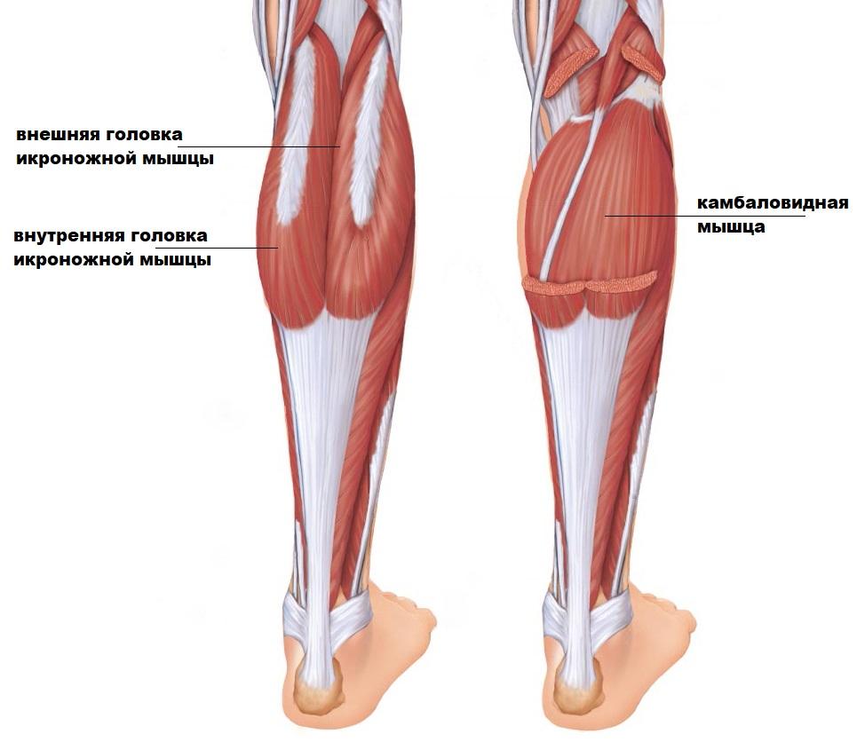 строение мышц голени